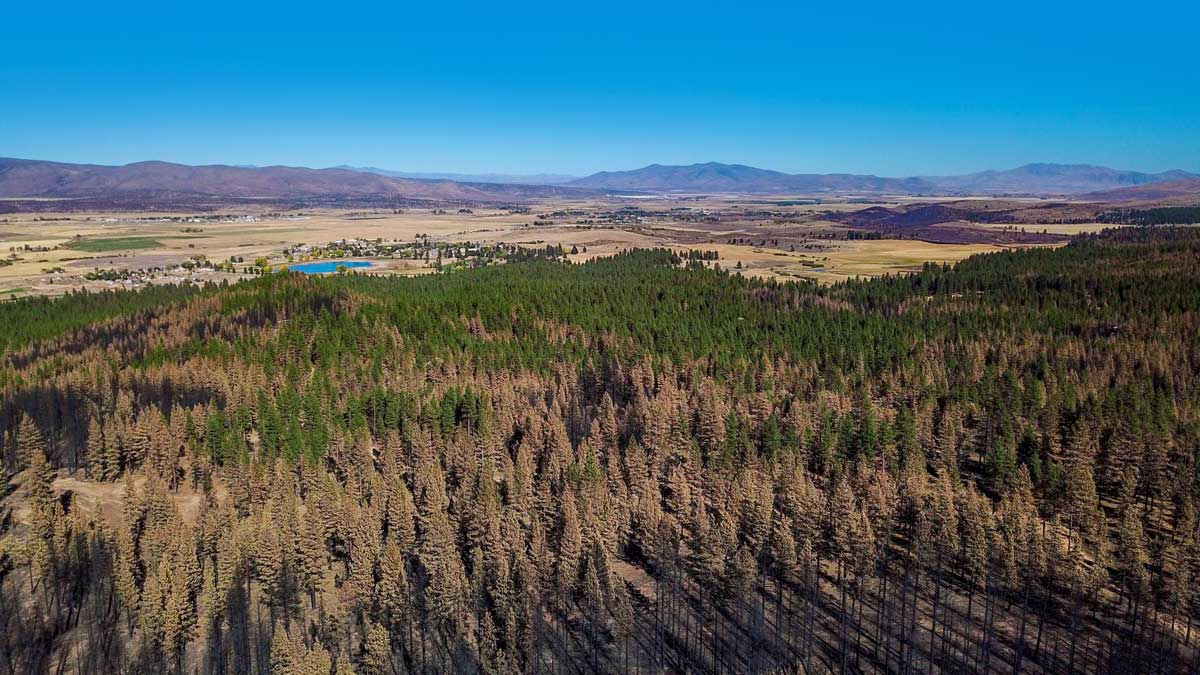 Aerial image showing burned trees in the foreground that transition to brown trees then live green trees. In the backgound there's an undisturbed community.