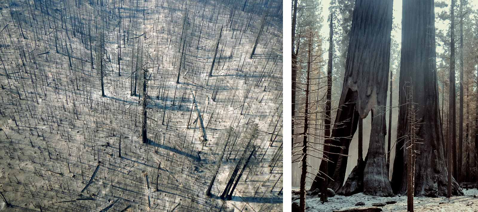 Aerial of all burned trees, and close up of a large, burned tree trunk