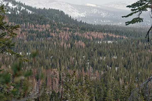 looking out at expansive view of dense conifer forest with many dead trees
